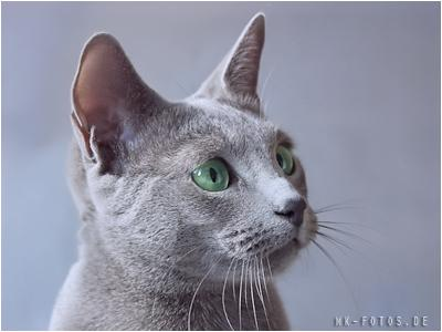Russian Blue And Abyssinian Cat Club Of Scotland