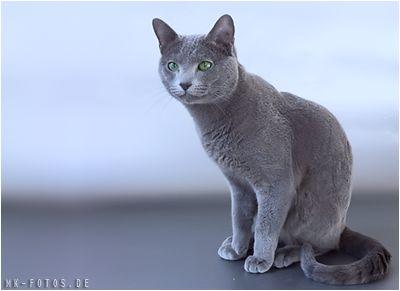 blaue russische katze